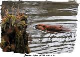 20131118 016 Beaver.jpg