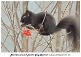 20131125 039 Black (melanistic) Eastern Gray Squirrel.jpg