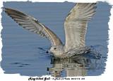 20131116 373 Ring-billed Gull.jpg