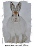 20131202 007 Snowshoe Hare.jpg