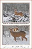 18 20110108 111 20110130 128  White-tailed Deer.jpg