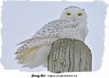 20131214 213 Snowy Owl.jpg