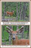 20 20110605 - 2 009 070 White-tailed Deer 2.jpg