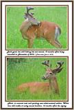 29 20120604 146 324 White-tailed Buck 1r1.jpg