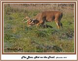 32 20121108 186 SERIES - White-tailed Deer.jpg