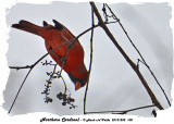 20131202 100 Northern Cardinal.jpg
