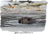 20131210 156 Beaver 1c1.jpg
