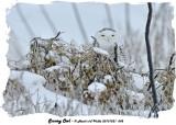 20131221 042 Snowy Owl3.jpg