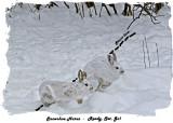 20131218 451 Snowshoe Hares3 1r1r1.jpg