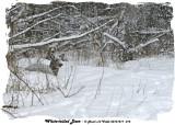 20131217 014 White-tailed Deer.jpg