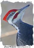 20131216 044 Pileated Woodpecker.jpg