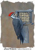 20131214 032 Pileated Woodpecker.jpg