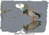 20131114 320 Mallard.jpg
