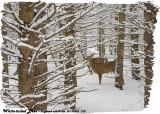 20130228 075 SERIES -  White-tailed Deer.jpg