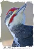 20131216 029 Pileated Woodpecker.jpg
