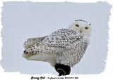 20131214 058 Snowy Owl 1r1r1.jpg