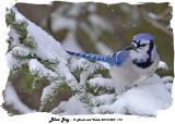 20131220 113 Blue Jay 1r1.jpg