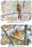 20131218 328 270 Northern Cardinal.jpg