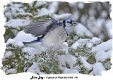 20131220 192 Blue Jay.jpg