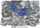 20131220 217 Blue Jay.jpg