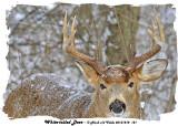 20131218 121 White-tailed Deer.jpg