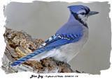 20140114 114 Blue Jay HP.jpg