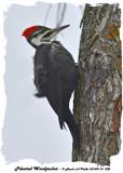 20140114 008 Pileated Woodpecker.jpg