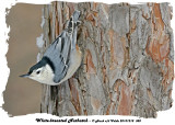 20131218 388 White-breasted Nuthatch.jpg