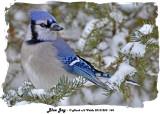 20131220 144 Blue Jay.jpg