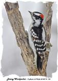 20140114 135 Downy Woodpecker.jpg