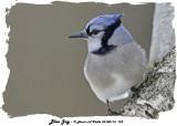 20140114 122 Blue Jay.jpg