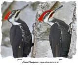 20140114 021 047 Pileated Woodpeckers 1c1 xxx.jpg