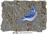 20131218 575 Blue Jay.jpg