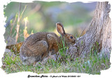 20130503 001 SERIES - Snowshoe Hare rawc.jpg