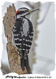 20140114 067 Hairy Woodpecker.jpg