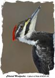 20140124 092 Pileated Woodpecker.jpg