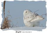 20140204 - 1 371 SERIES - Snowy Owl.jpg