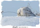 20140204 - 1 176 Snowy Owl.jpg