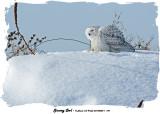 20140204 - 1 198 SERIES - Snowy Owl.jpg