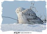 20140204 - 1 168 SERIES -  Snowy Owl 1c2.jpg
