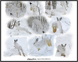 20140205 150 etc Snowshoe Hares 1r2.jpg