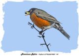 20140201 149 American Robin 1r1.jpg