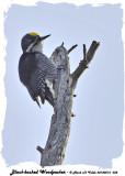 20140212 032 Black-backed Woodpecker.jpg