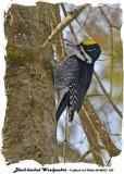 20140212 229 Black-backed Woodpecker 1r1.jpg