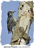 20140212 097 Black-backed Woodpecker 1r1.jpg