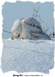 20140204 - 1 194 Snowy Owl.jpg