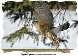 20140211 002 Cooper's Hawk.jpg