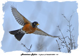 20140201 157 American Robin.jpg