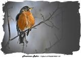20140201 031 American Robin 1r1.jpg