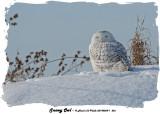 20140204 - 1 266 SERIES Snowy Owl.jpg